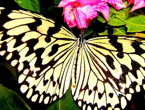 Butterfly by Cynthia Amaral