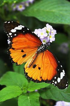 Butterfly by Pamela Lecavalier
