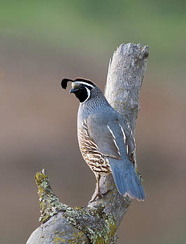 California Quail by Doug Herr