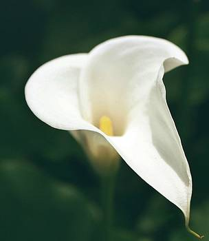 Calla Lilly by Cathie Tyler