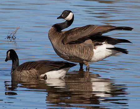 Dee Carpenter - Canada Geese
