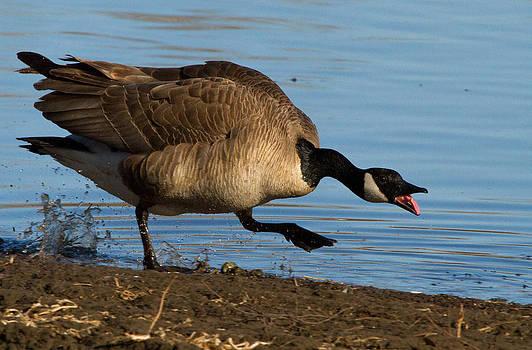 Dee Carpenter - Canada Goose
