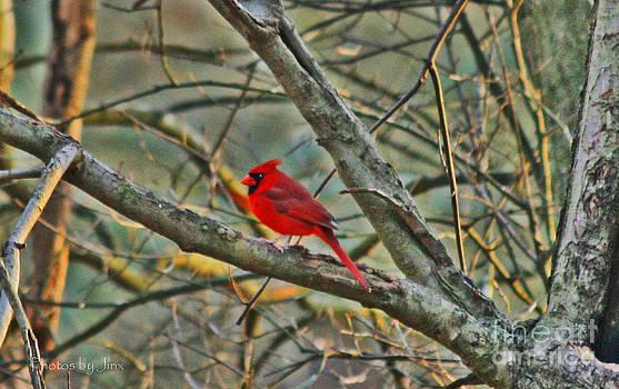 Cardinal Love.... by Jinx Farmer