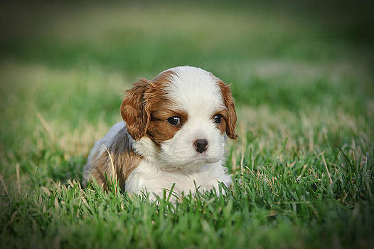 Waldek Dabrowski - Cavalier king charles spaniel puppy