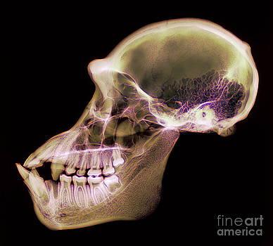 D Roberts - Chimpanzee Skull X-ray