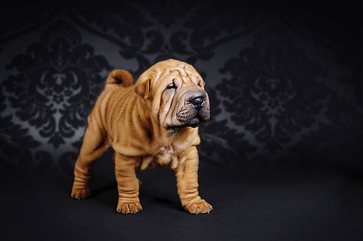 Chinese Shar pei puppy portrait by Waldek Dabrowski