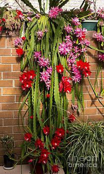 Steven Ralser - Christmas cactus