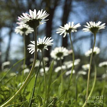 BERNARD JAUBERT - Daisies