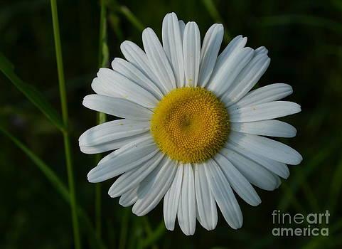 Daisy by Janet Davaros