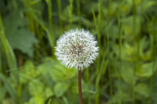 Dandelion seed head by David Davies