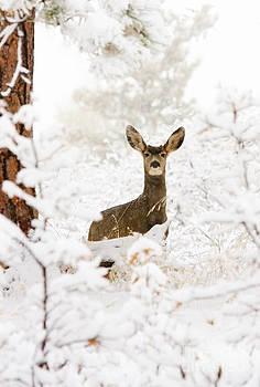 Steve Krull - Doe Mule Deer in Snow