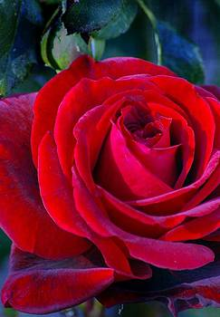Don Juan rose by JAXINE Cummins