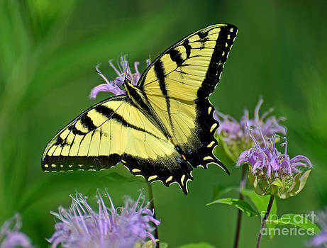 Eastern Tiger Swallowtail by Rodney Campbell