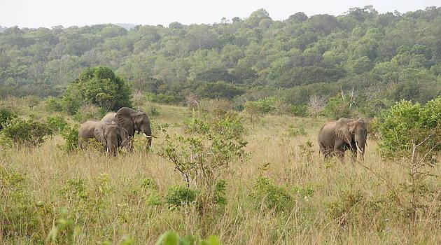 Elephants by Olaf Christian