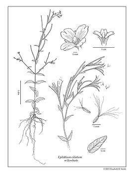 Epilobium ciliatum by Elizabeth Smith