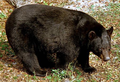 Millard H Sharp - Florida Black Bear