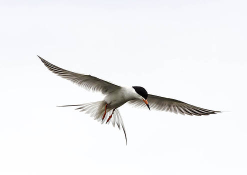 Forester Tern by Todd Heckert
