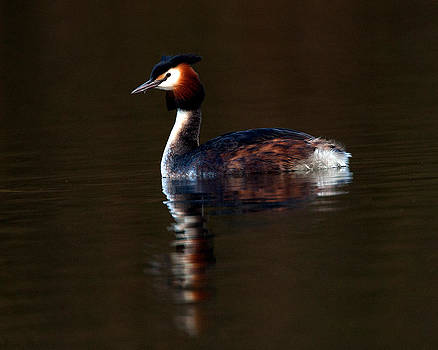 Great Crested Grebe by Paul Scoullar