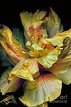 Hibiscus by Nicola Fiscarelli