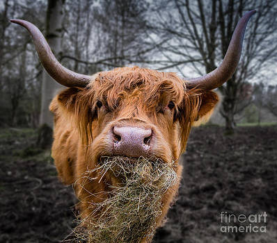 Highland Cow by Fiona Messenger