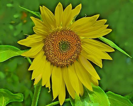 Hot Sunflower by Larry Bodinson