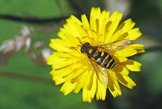Hoverfly on Dandelion by Walter Klockers