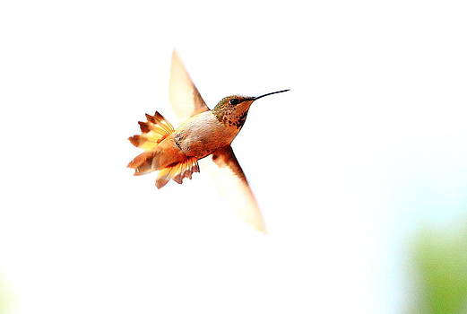 Humming Bird by Floyd Tillery