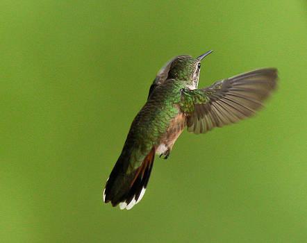 Kevin  Dietrich - Hummingbird