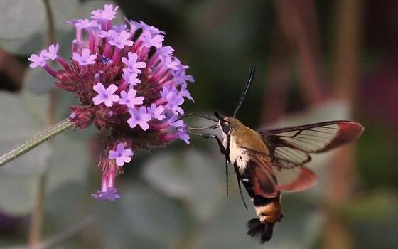 Rosanne Jordan - Hummingbird Moth