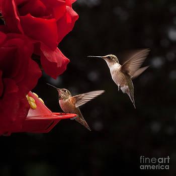 Hummingbirds at Feeder by Cindy Singleton