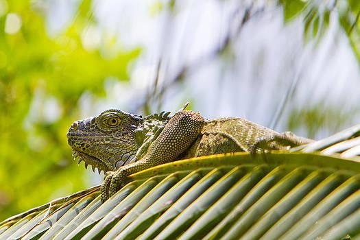 Iguana by Joep K