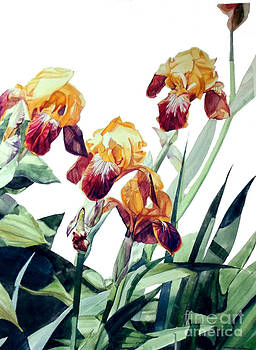 Watercolor of Tall Bearded Irises I call Iris La Vergine degli Angeli Verdi by Greta Corens