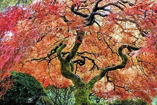Japanese Maple Tree by Jane Girardot