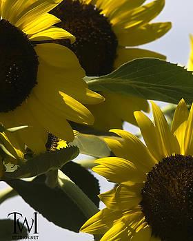 Kansas sunflowers by Cindy Bauman