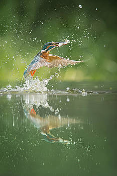 Kingfisher with catch. by Andy Astbury