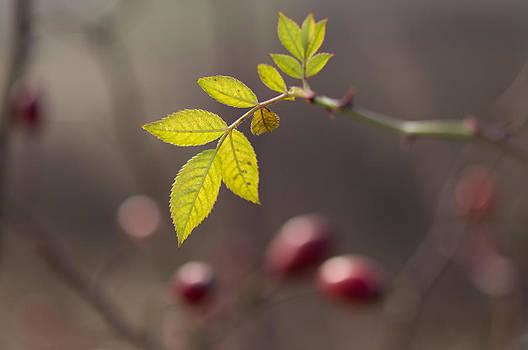 Leaves Briar by Svetoslav Radkov