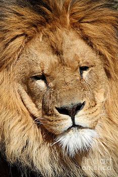 Lion by Sara  Meijer