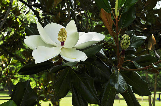 Terry Sita - Magnolia 2