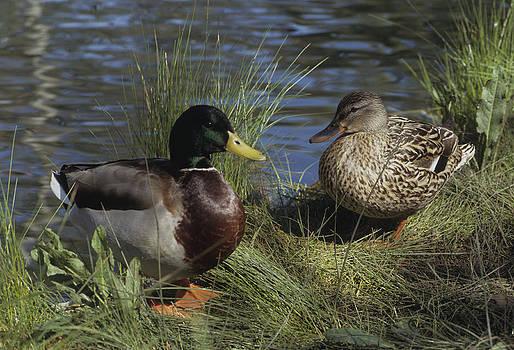 Mallard Duck Pair by Don Kreuter