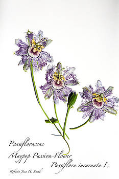 Maypop Passion-Flower by Roberta Jean Smith