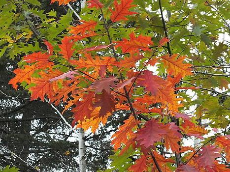 Oak Leaves by Gene Cyr