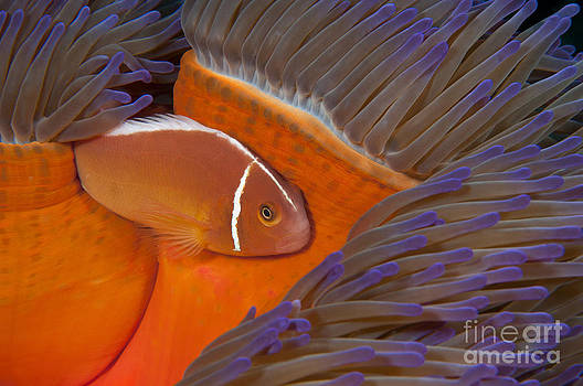 one Pink Anemonefish in a colorful Sea Anemone on the coral reef by Brandon Cole