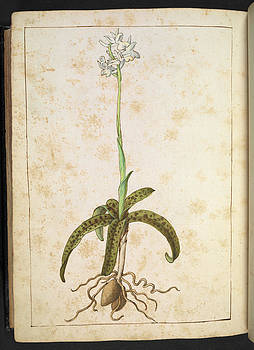 Orchid by British Library