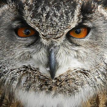 Owl by Gillian Dernie