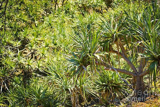 Tim Hester - Pandanus Palm Tree