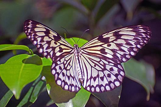 Paper Kite Butterfly by Cheryl Cencich