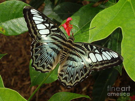 Parthenos Sylvia butterfly by Barbara Lightner