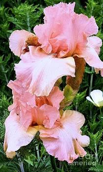 Pink Iris by Claudette Bujold-Poirier