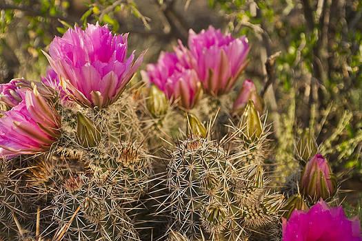Pinkflower Hedgehog by Joel Moranton