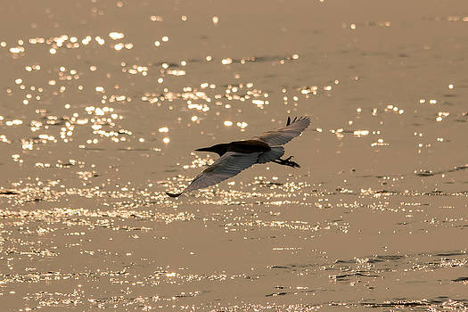 Gaurav Singh - Pond Heron